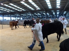 Thirsk Rising Stars Multi Breed Calf Show 11.11.18