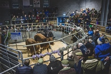Christmas Extravaganza Show of Clean Cattle & Prime Sheep Wednesday 27 Nov 2019